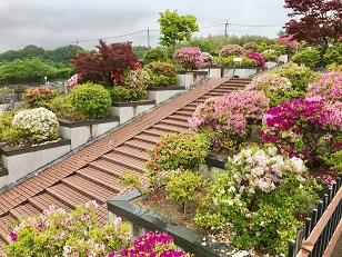 つつじの花の道